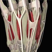 connecting tendons
